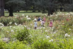 Running in the roses near Pork Barrell in Canberra | Human Brochure 2013 | Flickr - Photo Sharing!