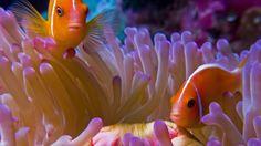 Clown fish in an aquarium