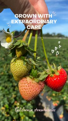 Did you know that California grows 90% of the nation's strawberries? #californiastrawberries #fromthefield #cagrown #freshberries #healthyfood #strawberries #fromthefarm #freshfruit #berrydelicious Strawberry Farm, California Coast, Fresh Fruit, Strawberries, Did You Know, Farmer, Healthy Recipes, Strawberry Fruit, Farmers