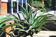 <i>Octopus agave or agave vilmoriniana:</i> Since its leaves are toothless, this sprightly agave can be planted near walkways and patios without fear of attacking people. Its high-arching, twisting leaves give another design option.