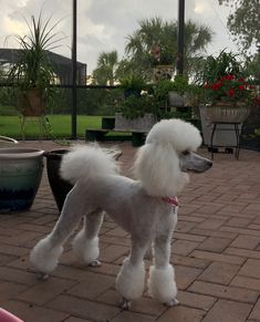 """Excellent """"poodle puppies"""" detail is readily available on our web pages. Read more and you wont be sorry you did Toy Poodle Puppies, Poodle Mix, Cute Dogs And Puppies, Toy Poodles, Corgi Puppies, Doggies, Poodle Grooming, Pet Grooming, French Poodles"""