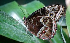 blue morpho butterfly   butterfly blue morpho 1680x1050 wallpaper – Animals Butterflies HD ...