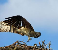 """Check out my art piece """"Here She Comes"""" on crated.com #osprey #birds #birdsofprey #art #photography"""