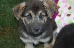 Romeo- Shepherd Mix (2 Months Old)