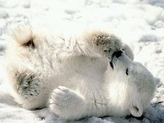 Polar Bears are my favorite type of bears because they are cute, fun, and dangerous. Beautiful animals.