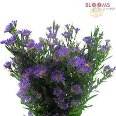 Wholesale Monte Casino Aster Purple - Blooms by the Box