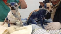 Two Chihuahuas Covered In blue plumber's Glue Need Your Help in Nashville, Tenn.on Jan 29, 2014. A landlord found these 2 in one of his abandoned properties. If you have any info that can lead to an arrest, please call Metro Animal Control 615-862-7928