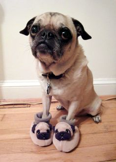 After a long day, going home feels so good!   Pug wearing pug slipper