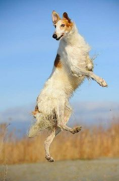 Gorgeous jump of Borzoi! Cat Vs Dog, Pet Dogs, Dogs And Puppies, Doggies, Russian Wolfhound, Irish Wolfhound, Russian Dog Breeds, Borzoi Dog, Whippets