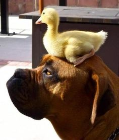 "A Boxer Dog Named: ""Boris."" And A Duck Named: ""Donald."" The Boxer: I don't go anywhere without my duck;"" (Photo By: Karen Friesecke. Boxer And Baby, Boxer Love, I Love Dogs, Puppy Love, Cute Dogs, Funny Dogs, Funny Animals, Cute Animals, Funny Dog Pictures"