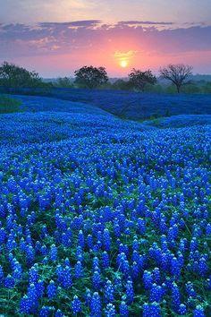 【朝の日 晨光 Morning Light】  Bluebonnet Field in Ellis County, Texas