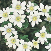 Bloodroot- Anemone-like 2 inch white blooms emerge on red stems in April or May. 4 to 6 inches tall. Flowers Perennials, Planting Flowers, Woodland Flowers, Plant Catalogs, Annual Plants, Garden Seeds, Trees And Shrubs, Flower Seeds, Garden Supplies