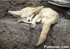Young fennec / photo by floridapfe on flickr