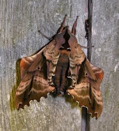 blinded sphinx moth (Paonias excaecatus) | Dorsal view. Another darker, more colorful sphinx