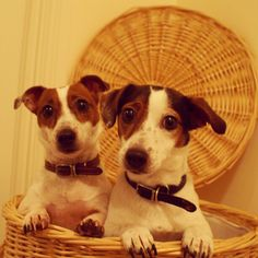 Have a good weekend everyone! ♡ Bobbin & Stitch #jackrussell #cute #puppy…