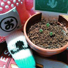 サボテン日記 (ノ)まだまだ #cactus #cactuslove #succulent #succulove #saboten #onokun  #さぼてん #サボテン #多肉植物 #栄冠丸 #おのくん  #8-8 #引き分け by niwakafan