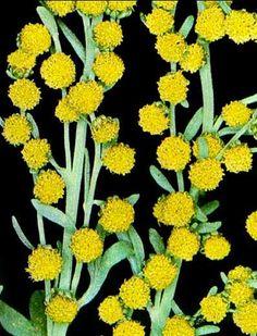 Wormwood - Artemisia absinthium  A natural flea repellent for your garden
