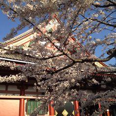 Sakura (Cherry blossom) at Sensoji temple, Asakusa, Tokyo, Japan, 2012/ april by Maria Alice
