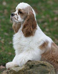 American Cocker Spaniel #dog #animal