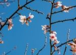 Almond flowers on naked branches