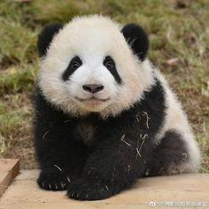 「Panda Meng lan」の画像検索結果