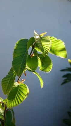 Ruil con hojas nuevas