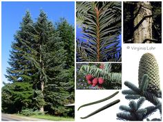 Noble Fir (Abies procera) native to the western N.America.These trees attains the largest dimensions of any of the true fir species. Typically up to 80 m tall and 2 m trunk diameter, rarely to 90 m tall and 2.7 m diameter. The tallest one ever measured was 99.06 m tall. It grew near Harmony Falls northeast of Mt. St. Helens. The forest in that area was destroyed in the mountain's1980 eruption. www.na.fs.fed.us/pubs/silvics_manual/Volume_1/abies/procera.htm…