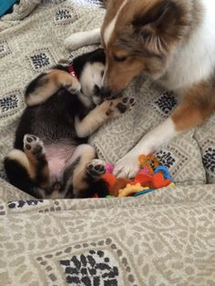 Sheltie is playing with shiba inu puppy
