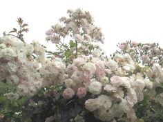 Raccontare un paese: rose profumate