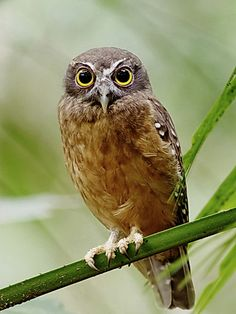 Ochre-bellied Hawk-Owl Pinned by www.myowlbarn.com