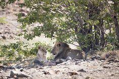 Desert-adapted lions in Damaraland Rocky Hill, Tour Operator, Big Cats, Luxury Travel, Polar Bear, Lions, Wilderness, Safari, Deserts