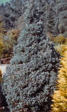 Chamaecyparis pisifera 'Boulevard'  A conical shrub with beautiful bright blue foliage. grows to approx 2M in 10 years. Benefits from a light annual trim.