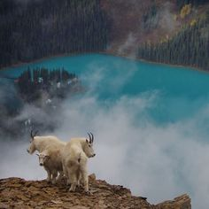 Mountain goats spotted above Emerald Lake Lodge in Yoho National Park (photo by Julian Storch)
