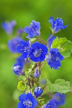 Phacelia campanularia is going into my new perennial bed. The blue will set off the abundance of red, yellow and orange daylilies