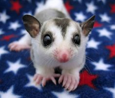 Jester is a little mosaic colored sugar glider joey .. he was a first joey to parents Van Gough and Belinda and very patriotic!