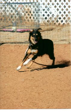 Nice movement in a young Australian Shepherd - one of her first herding lessons. #herding #australian shepherd