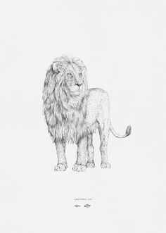 Hand drawn illustration of the lion (Panthera leo) by inkylines. This illustration is part of the 'Africa' collection; a series of impressive wildlife that lives in the nature in Africa. This unique collection is a collaboration between Rebellenclub and inkylines.