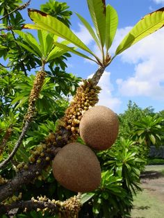 Mamey sapote or  Zapote Fruit Tree