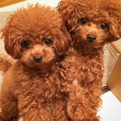Awesome Toy Poodle Phantom Red Miniature Poodle Source by asimfloyd The post Red Miniature Poodle appeared first on Calvert Kennels. Poodle Cuts, Poodle Mix, Toy Poodle Puppies, Red Poodles, French Poodles, Standard Poodles, Poodle Haircut, Tea Cup Poodle, Teacup Puppies