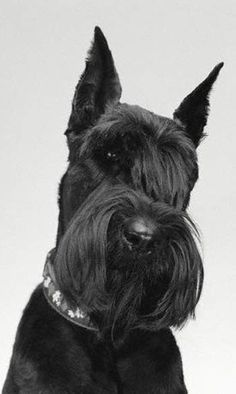 schnauzer gigante - Pesquisa Google Schnauzer Grooming, Schnauzer Dogs, Mini Schnauzer, Miniature Schnauzer, Dog Grooming, Giant Shnauzer, All Dogs, Dogs And Puppies, Schnauzer Gigante