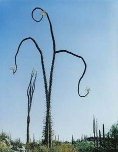 Eliot Porter. Cirio, near Las Tres Virgenes, Baja California, Mexico, July 31, 1966
