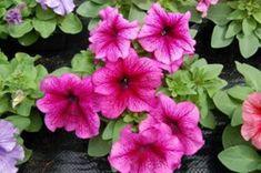 Titkos módszer, amit sokan nem ismernek: így marad szép a petúniád a nagy melegben! Petunias, Marvel, Plants, Balcony, Creative, Plant, Planets