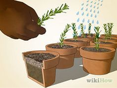 Grow Rosemary from a cutting. Good in sweet and savory dishes.