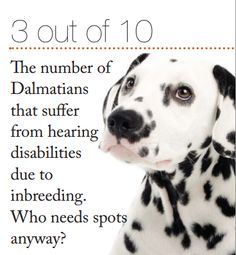Did you know 3 out of 10 Dalmatians suffer from hearing issues?