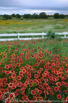 Dawn - Texas Wildflowers, Firewheels by Gary Regner