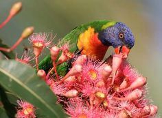 One of the most ancient parrots may be Vulturine (Presquet's) Parrot Psittrichas fulgidus of New Guinea.