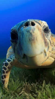 Hawksbill Sea Turtle, Bahamas, Atlantic, Pacific, Indian, Ocean, sealife, underwater, funny, diving, tourism, blue, World's best diving sites.  Visit our page here: http://what-do-animals-eat.com/what-do-turtles-eat/  #turtles #turtle #petturtle #whatdoturtleseat