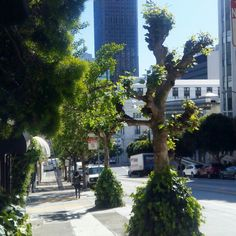 #SanFrancisco Im totally in love with bizarre-shaped San Francisco trees #friendlylocalguides #sanfranciscotour #sanfranciscotours #trees #street #californiastreet #wearefromearth