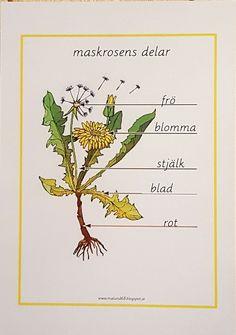 Teaching Schools, Teacher Education, Teaching Biology, Teaching Kids, Kids Learning, Elementary Schools, Waldorf Preschool, Learn Swedish, Swedish Language
