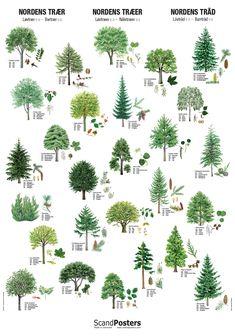 Plakat Nordens træer er en stor flot plakat der illusterer Nordens løvtræer og nåletræer. Navne angivet på dansk, engelsk, norsk og svensk. Mål:70 x 100 cm.